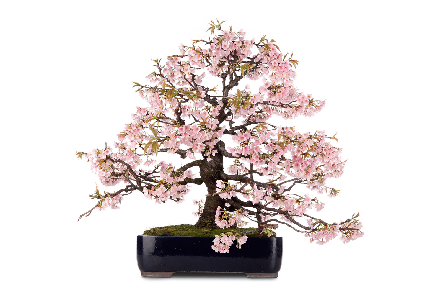 00_Bonsai_1-15ok.indd