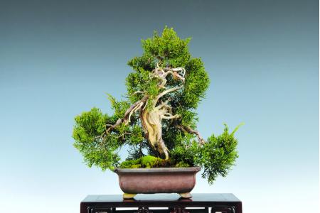Il fascino naturale del Ginepro Itoigawa